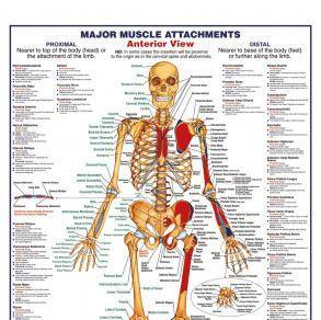 human-body major anterior muscles maxi poster, Muscles