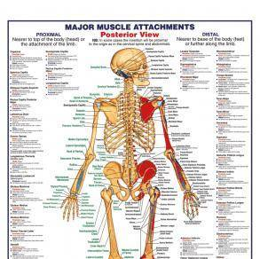 human body major muscle attachments anterior maxi poster, Muscles